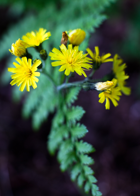 Yellow Hawkweed and Fern Frond