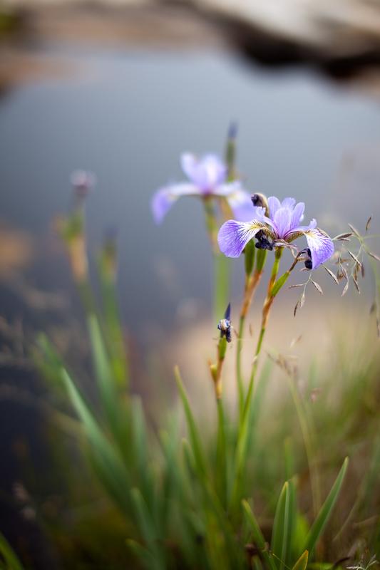 Wild Iris by Tidal Pool #1
