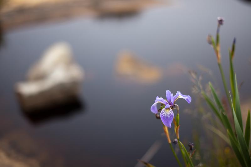 Wild Iris by Tidal Pool #2