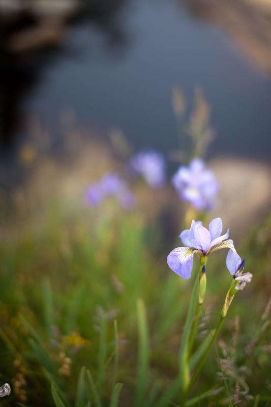 Wild Iris by Tidal Pool #3
