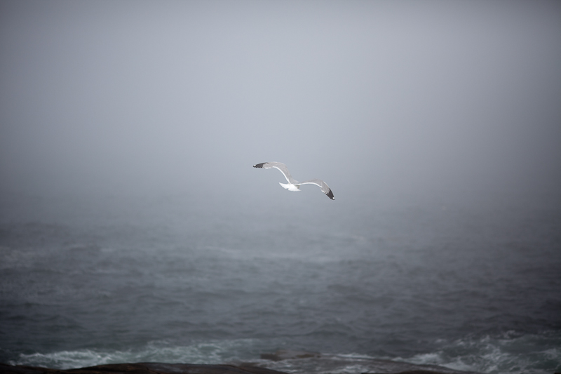 Gull Flying Out into the Fog