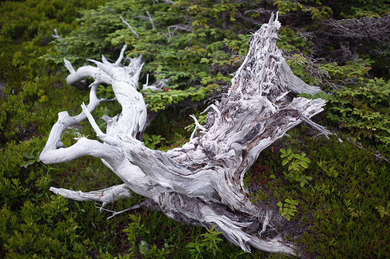 Gnarled, Fallen Pine Among New Growth