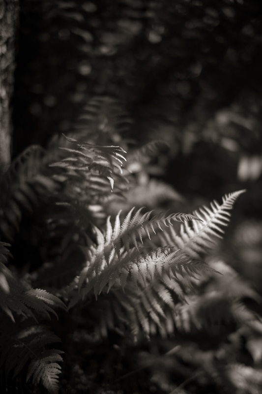 Dark Ferns