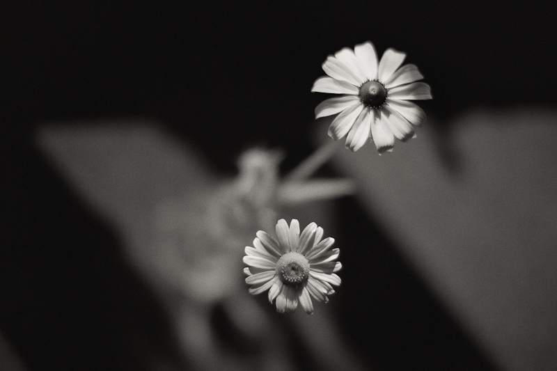 Monochrome Daisies in Morning Sun