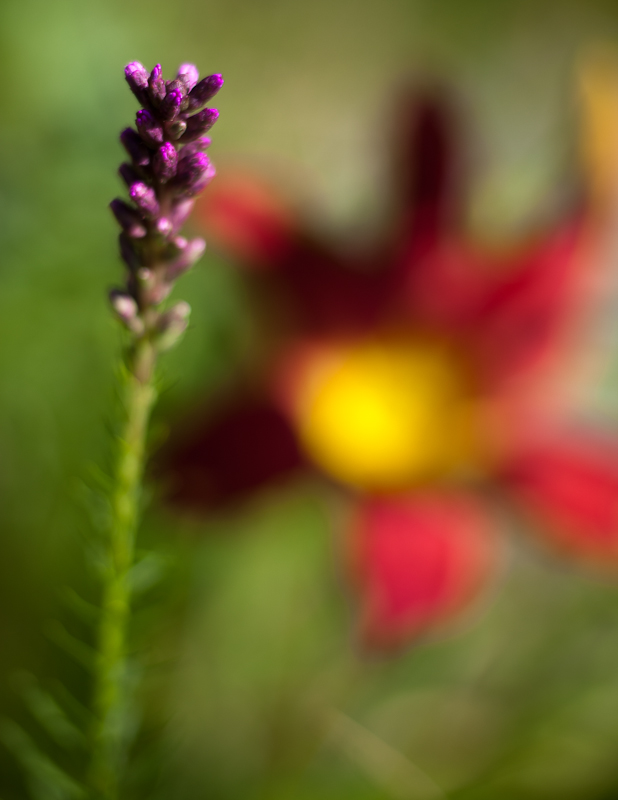 Liatris and Lily