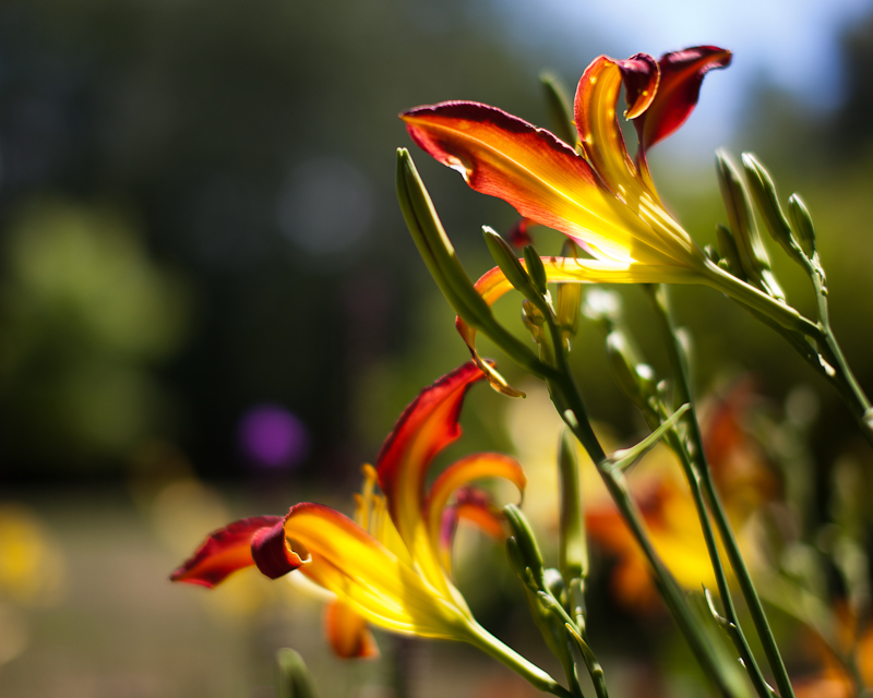 Backlit Orange and Yellow Lilies