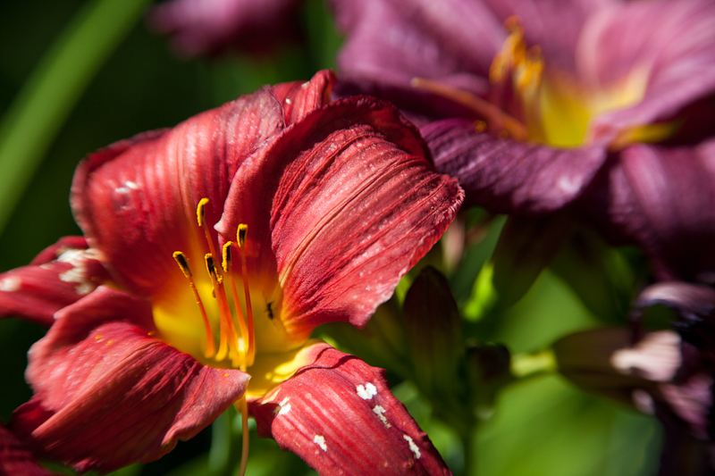 Red and Purple Lilies