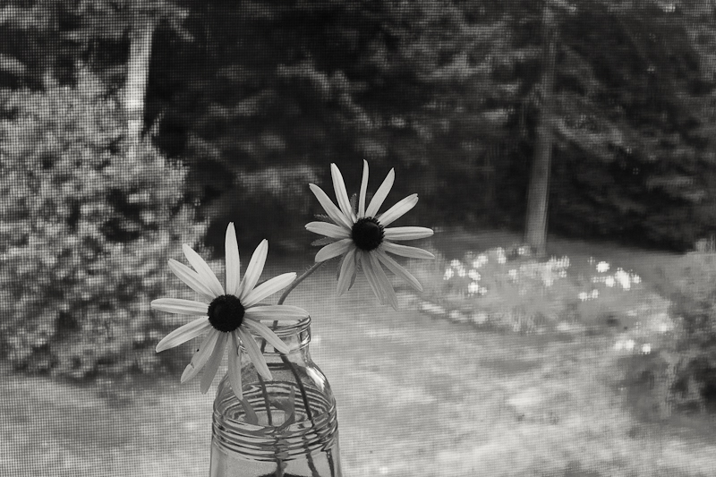 Daisies in the Window