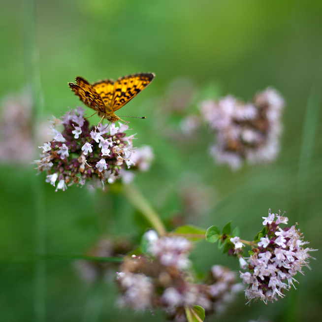 Great Spangled Fritillary Butterfly on Oregano Flowers #4