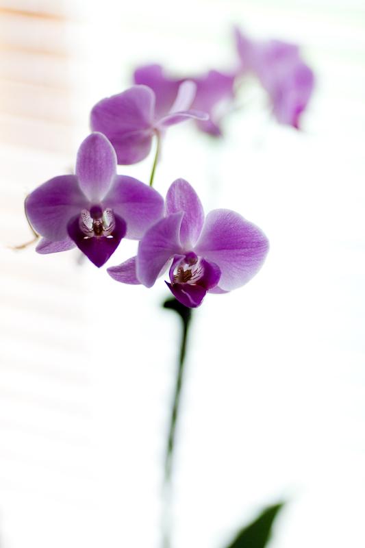 Purple Orchid #4