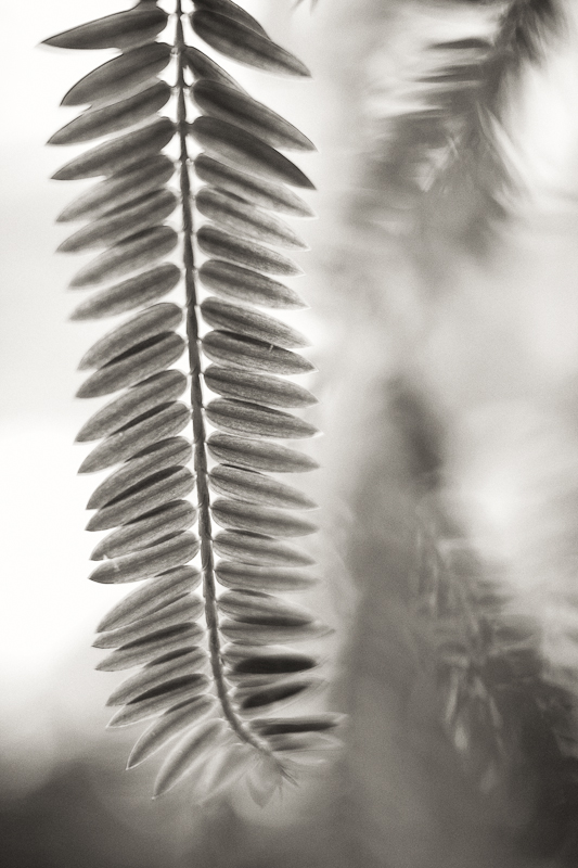 Hanging Frond