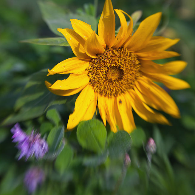 Short Sunflower Among Wildflowers