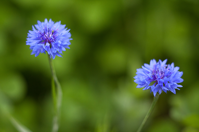 Pair of Little Blue Wildflowers