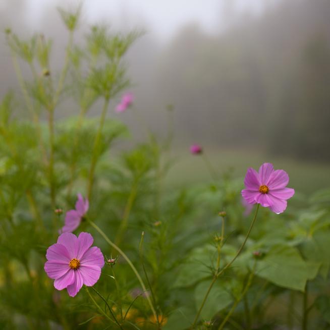 Cosmos on a Foggy Morning
