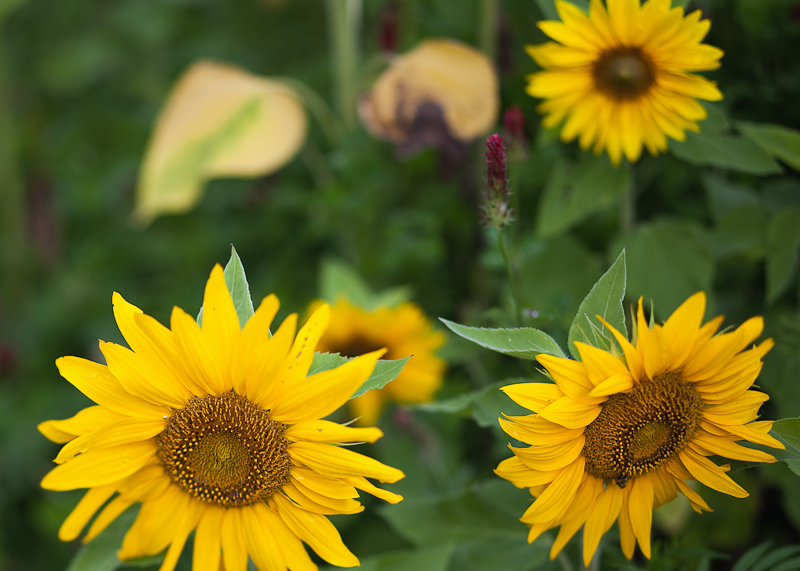 Sunflowers and Wildflowers #2