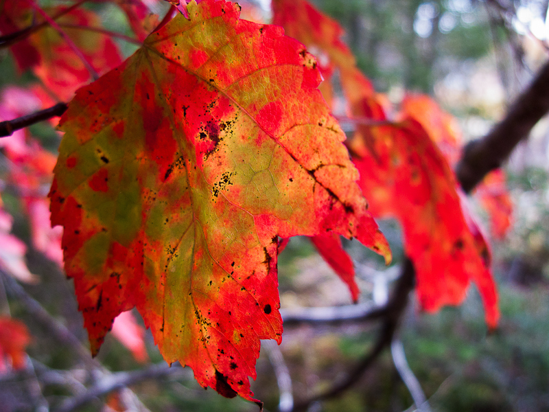Very Red Leaf Close-up