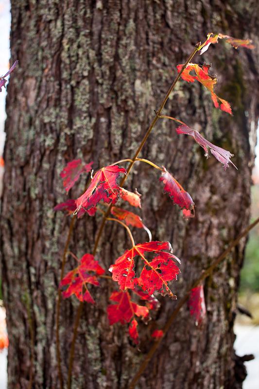 Red Leaves Against Bark #2