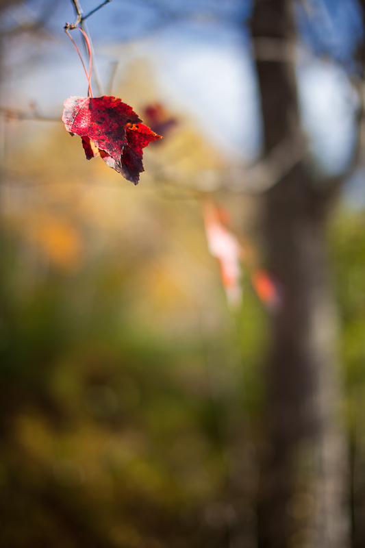 Red Leaves with Tree and Sky in Background
