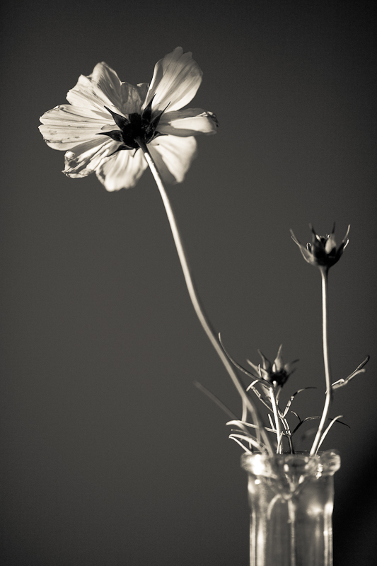 Monochrome Cosmo in Vase from Underneath