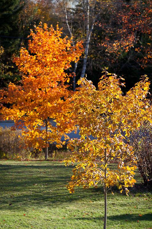Autumn Yard Trees