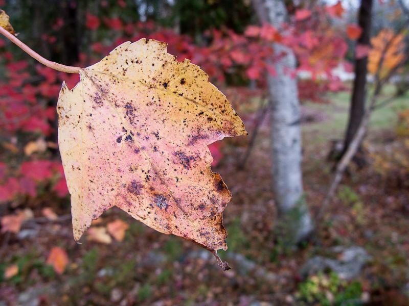 Yellow-Red Leaf Near Birch