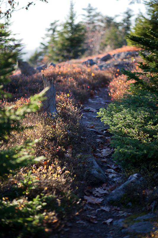 Path Through Blueberries