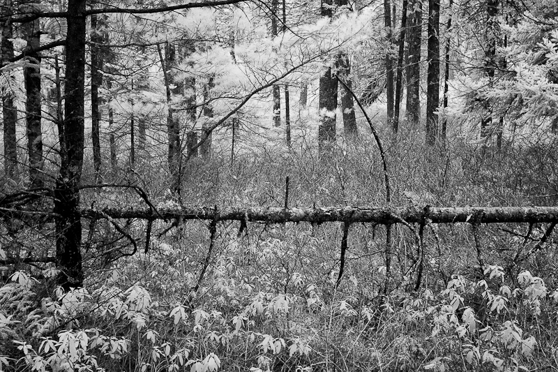 Fallen Pine Perpendicular