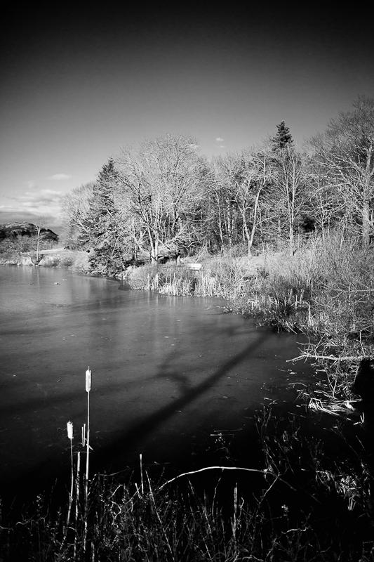 Reeds at Pond edge Mono