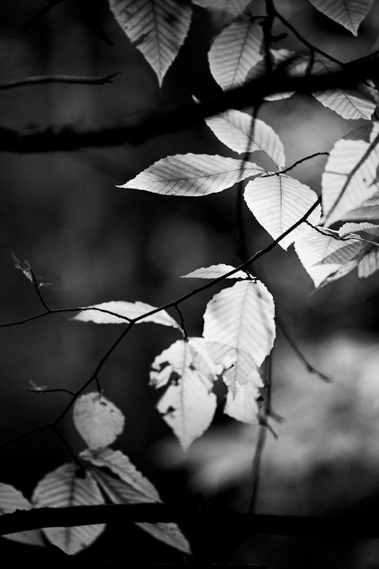 Backlit Beech Leaves
