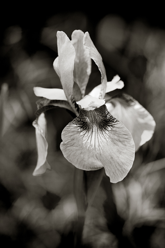 Monochrome Irises #1