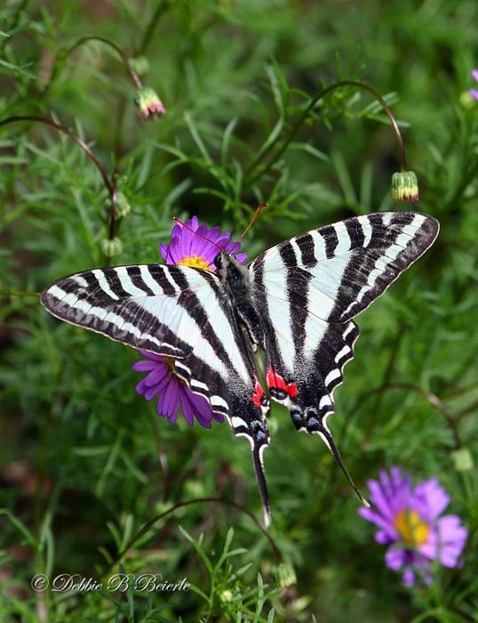 Zebra Swallowtail 02