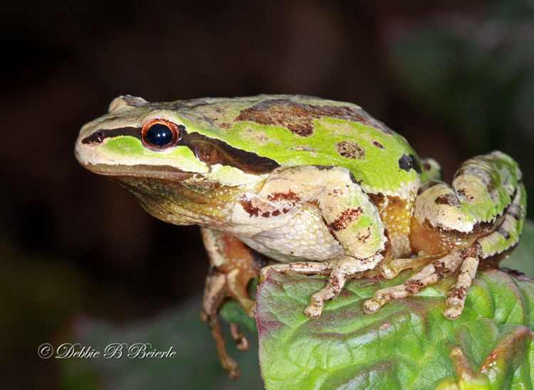 Pacific Treefrog (male)  02