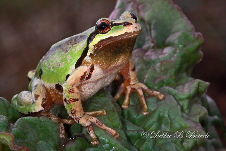 Pacific Treefrog (male)  04
