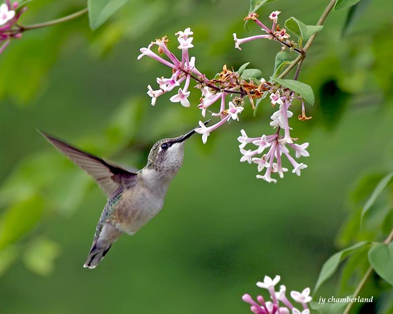 colibri/hummingbird.04