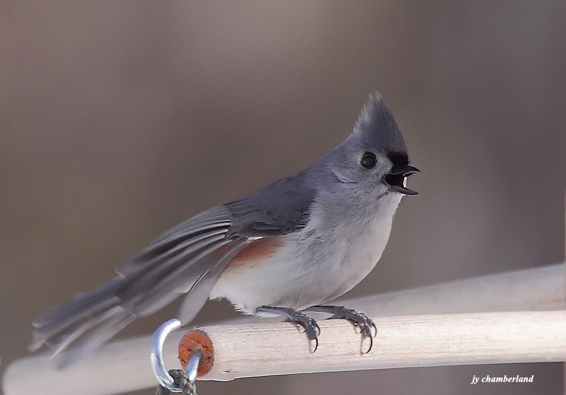 mésange bicolore /  tufted titmouse
