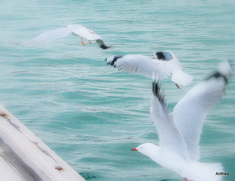 These gulls are amazing, they also do line flying!   wohoo!