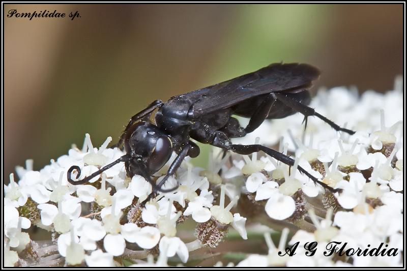 Pompilidae sp.