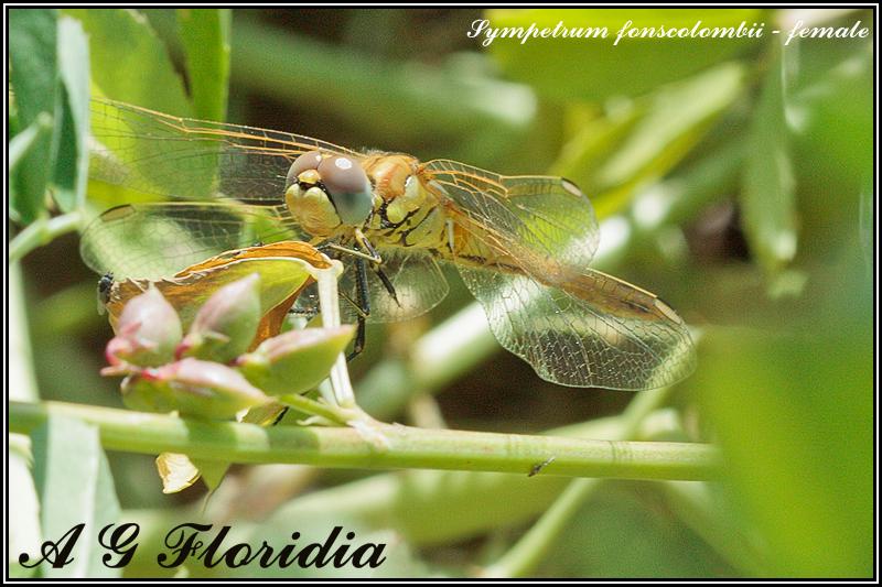 Sympetrum fonscolombii - female