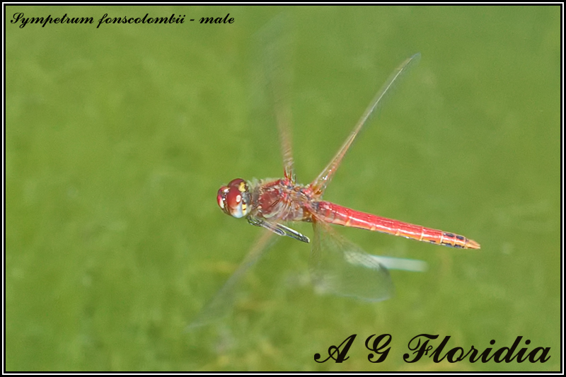 Sympetrum fonscolombii - male
