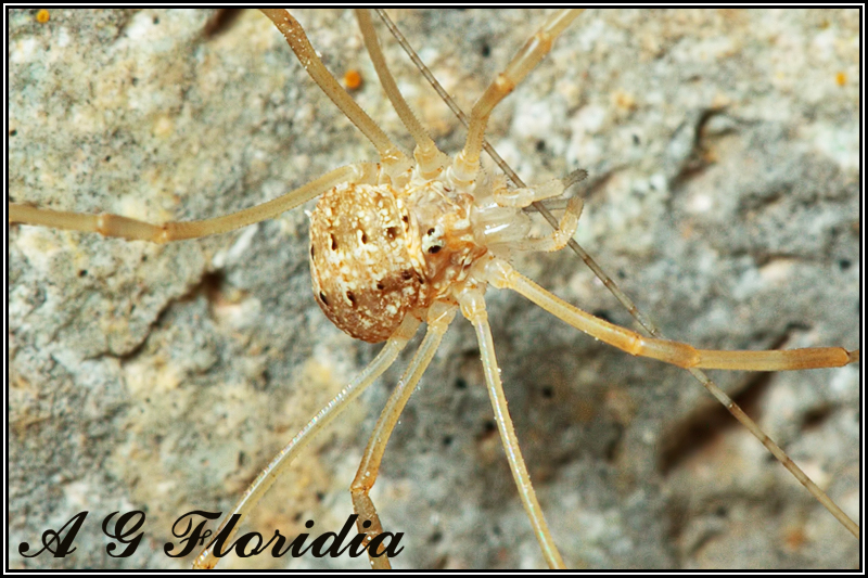 Opiliones - unidentified species