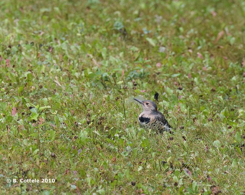 Gouden Grondspecht - Northern Flicker - Colaptes auratus