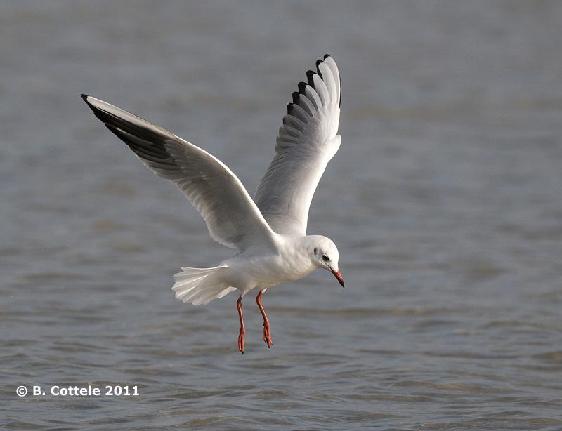 Kokmeeuw - Black-headed Gull - Larus ridibundus