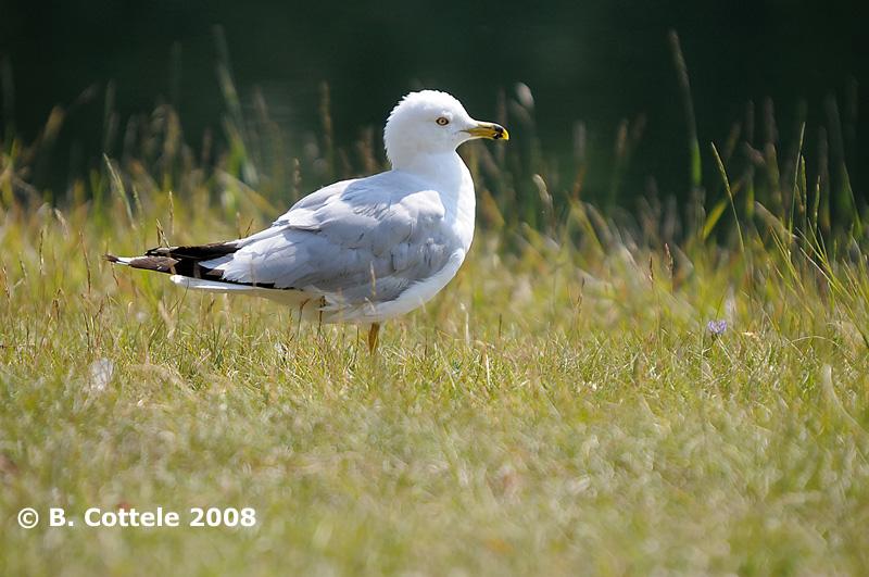 Ringsnavelmeeuw - Ring-billed Gull - Larus delawarensis