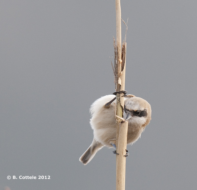 Buidelmees - Eurasian Penduline Tit - Remiz pendulinus