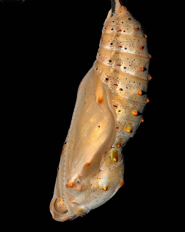 Painted Lady Butterfly Chrysalis
