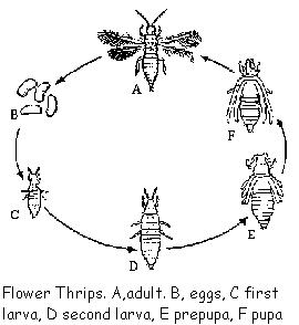 Life Cycle - Thrips