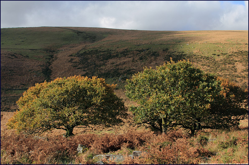 English oak trees, Dartmoor