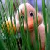 duck in grass.jpg icon