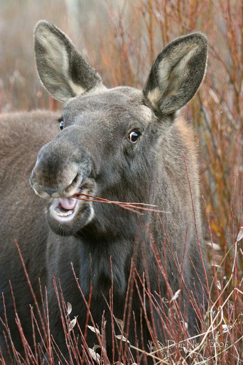 Little Moose Muncher