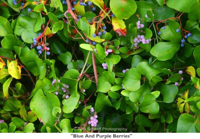 010  Blue And Purple Berries.jpg